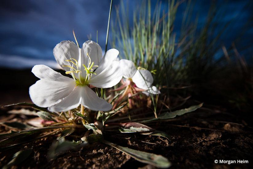 Conservation photographer Morgan Heim, wild evening primrose