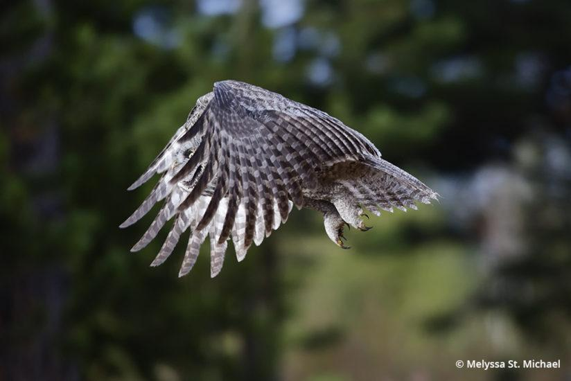 Great gray owl by Melyssa St. Michael