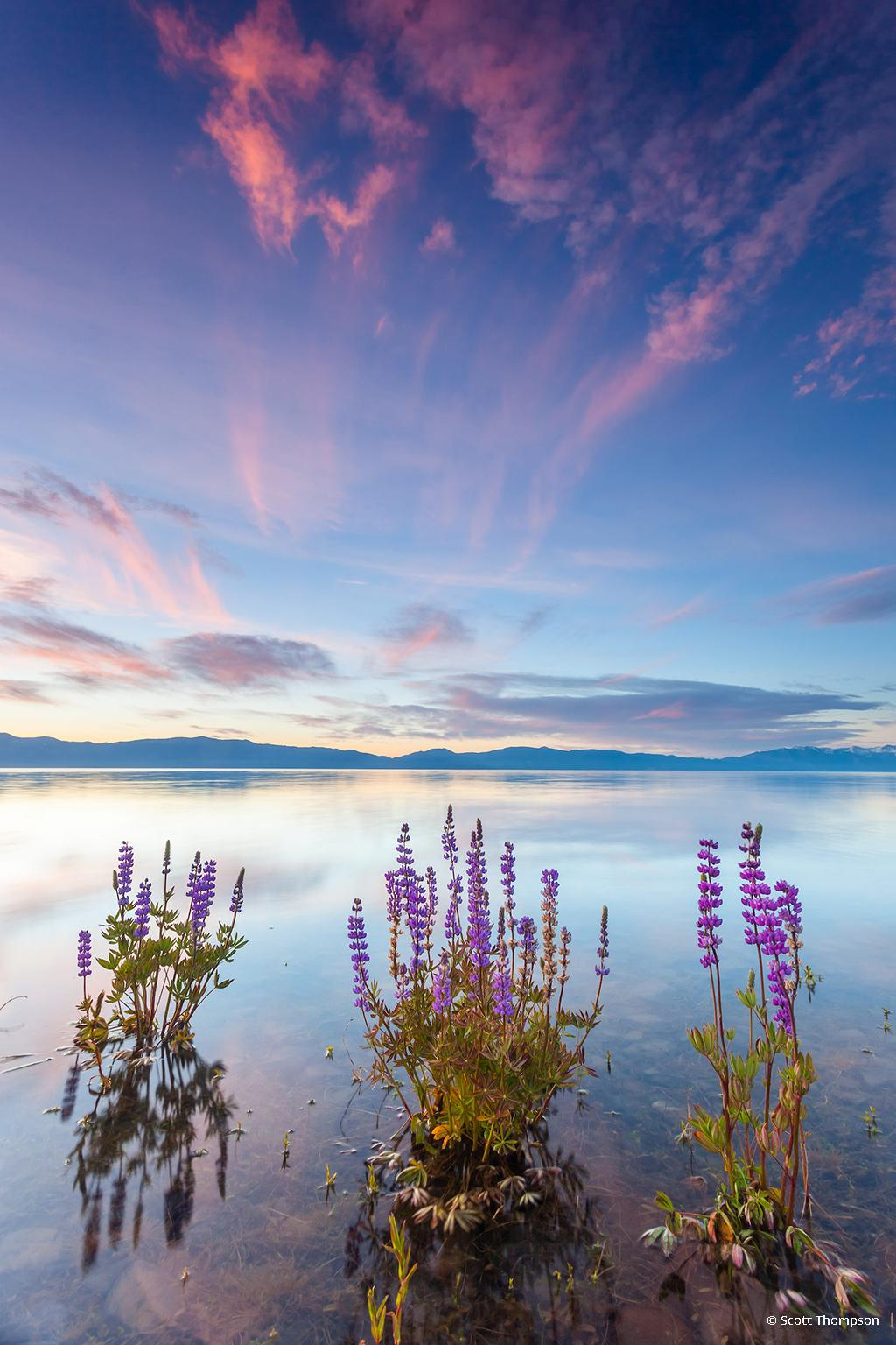 """Today's Photo Of The Day is """"Tahoe Lupine at Sunrise 4"""" by Scott Thompson. Location: Lake Forest Beach, Lake Tahoe, CA."""