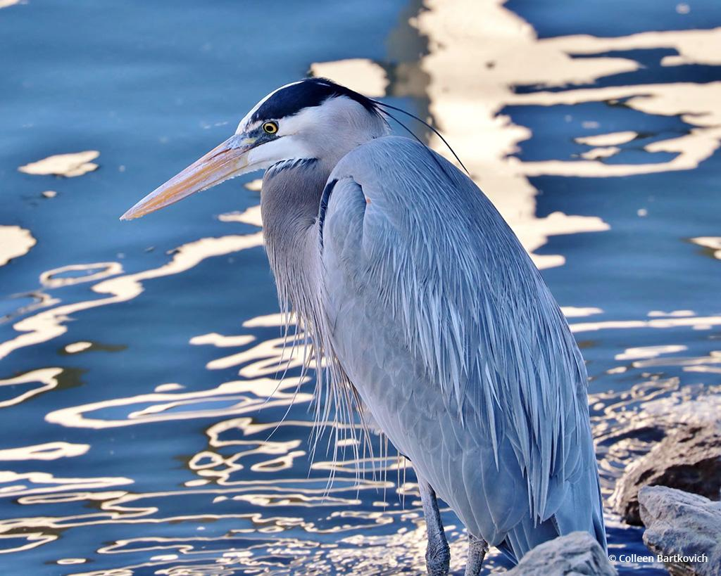 "Today's Photo Of The Day is ""Heron"" by Colleen Bartkovich. Location: Ventura Harbor, California."