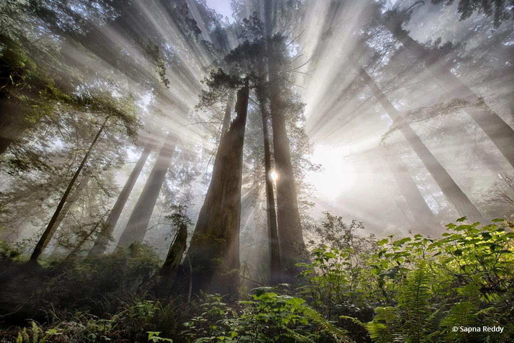 "Today's Photo Of The Day is ""Hope"" by Sapna Reddy Location: Redwood National Forest, Damnation Creek Trail, California."