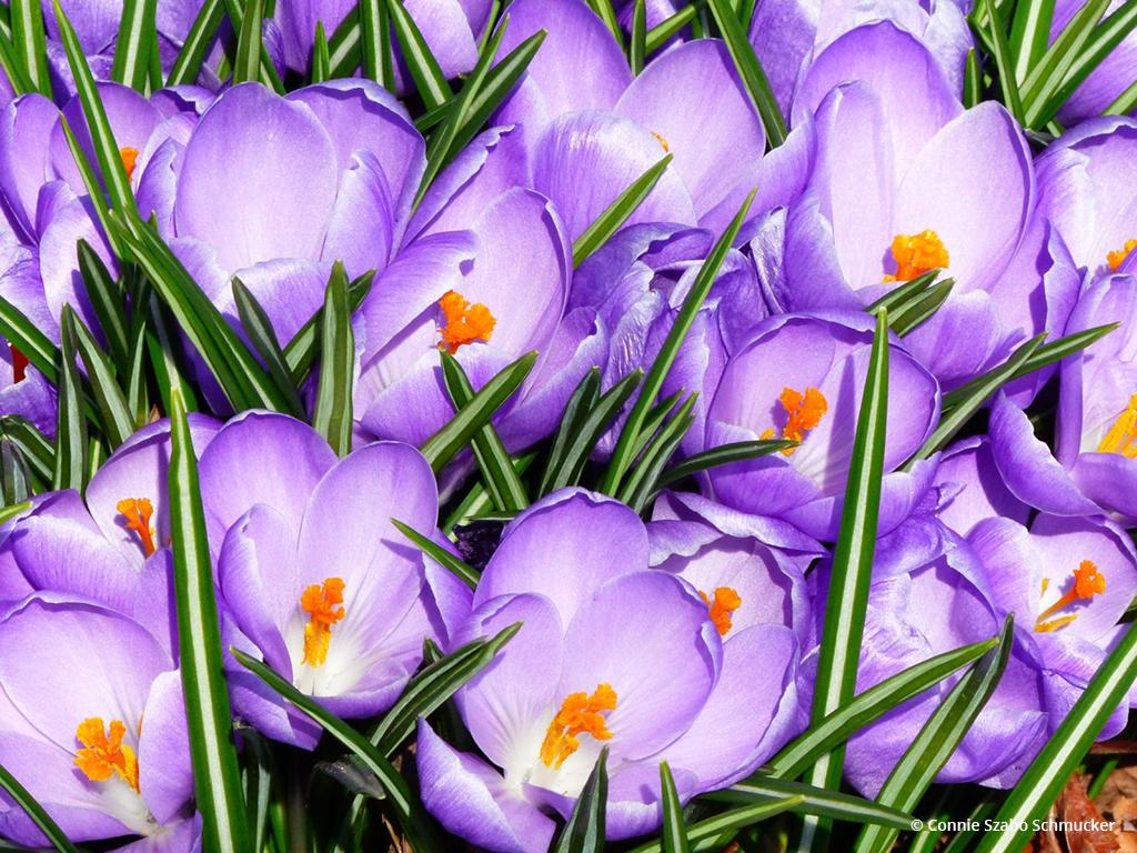 """Today's Photo Of The Day is """"Purple Explosion"""" by Connie Szabo Schmucker"""