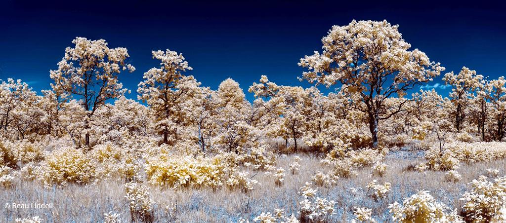 "Today's Photo Of The Day is ""Infrared Savanna"" by Beau Liddell. Location: Near Buckman, Minnesota."