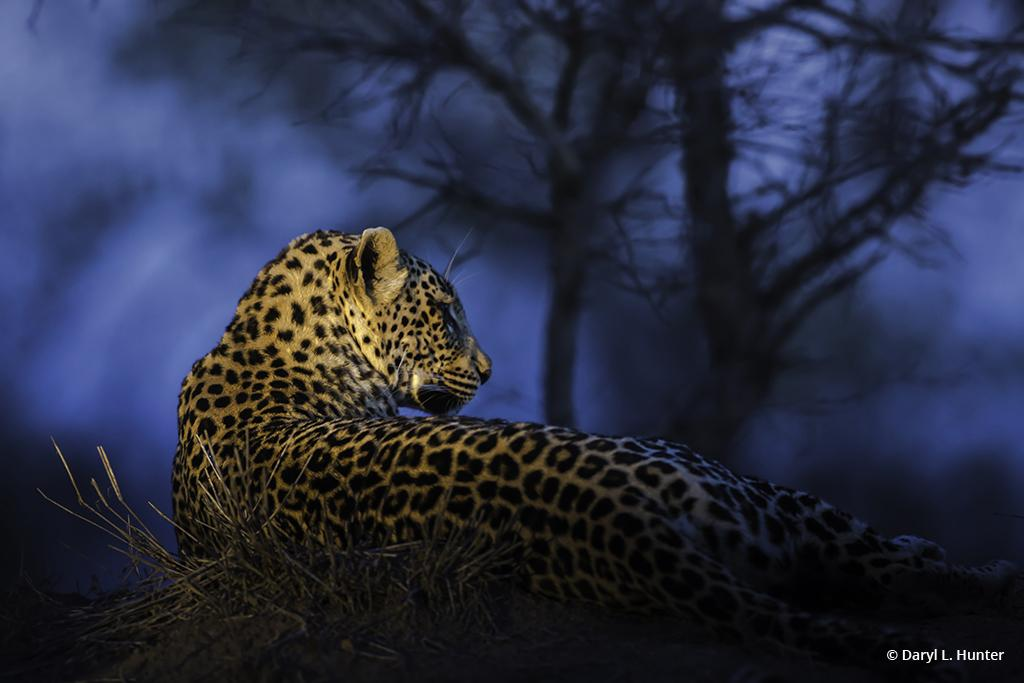 """Blue-Hour Leopard"" By Daryl L. Hunter"