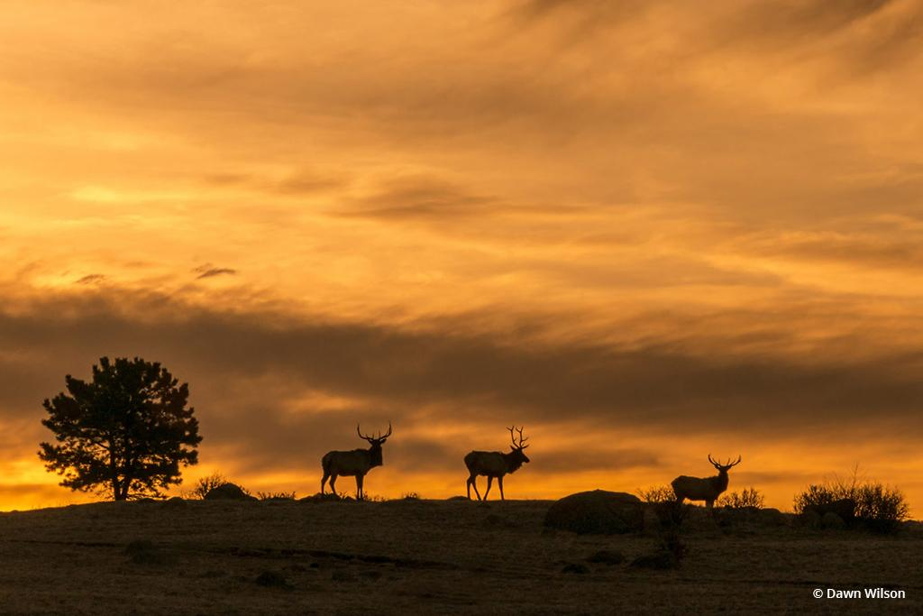 "Today's Photo Of The Day is ""Elk on Ridge"" by Dawn Wilson. Location: Rocky Mountain National Park, Colorado."