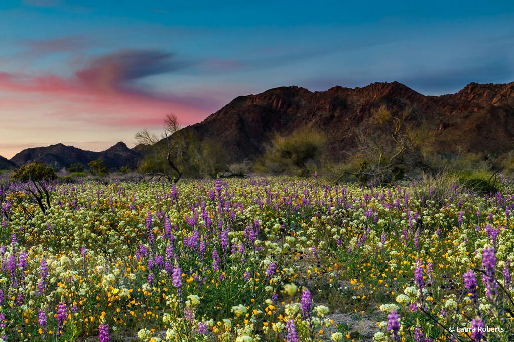 "Today's Photo Of The Day is ""Lupine Sunset"" by Laura Roberts. Location: Joshua Tree National Park, California."