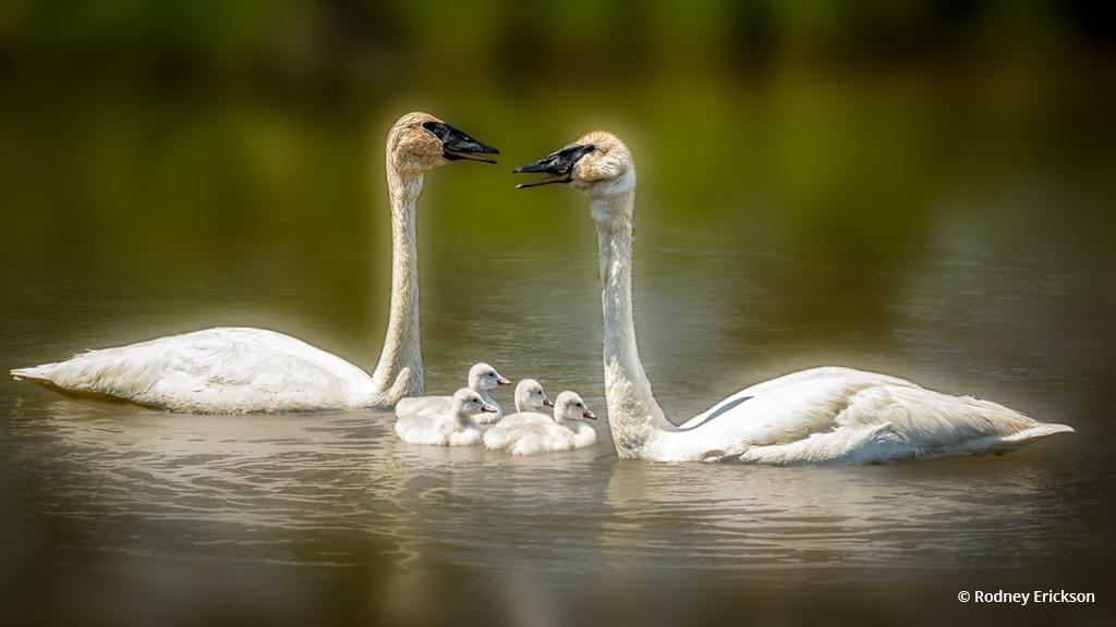 "Today's Photo Of The Day is ""Trumpeter Swan Family"" by Rodney Erickson. Location: Seney National Wildlife Refuge, Michigan."