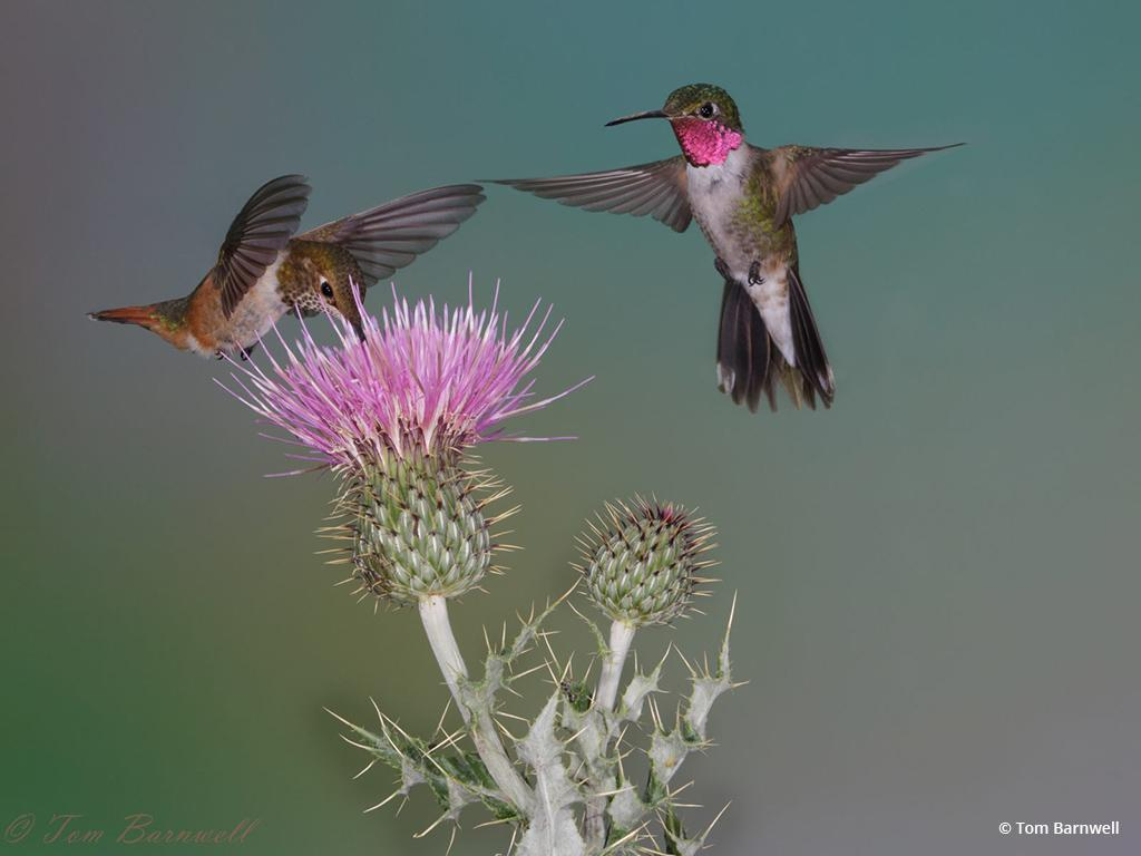 "Today's Photo Of The Day is ""Broadtailed Hummingbirds at Thistle"" by Tom Barnwell. Location: Springerville, AZ."