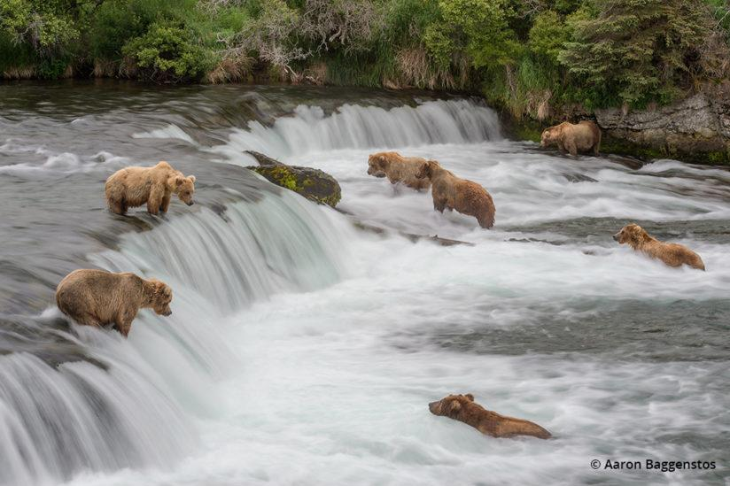 Creative blurs for wildlife photos: Water blur with bears