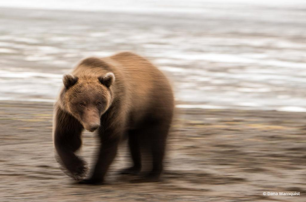 "Today's Photo Of The Day is ""Brownie"" by Dana Warnquist. Location: Lake Clark National Park, Alaska."