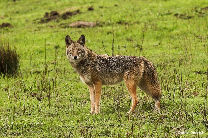 Coyote: Point Reyes National Seashore