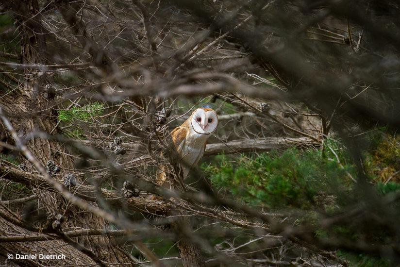 Barn owl: Point Reyes National Seashore