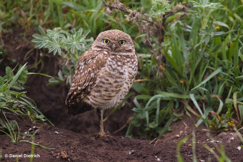 Burrowing owl: Point Reyes National Seashore