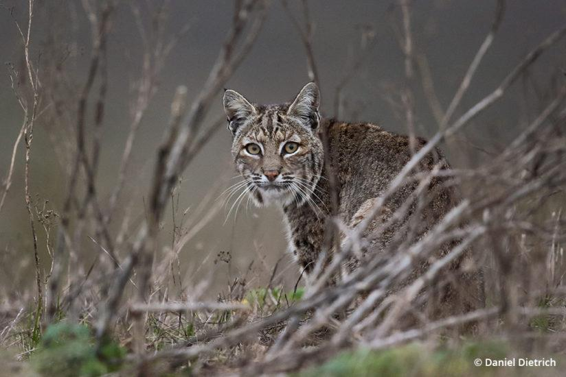 Bobcat: Point Reyes National Seashore