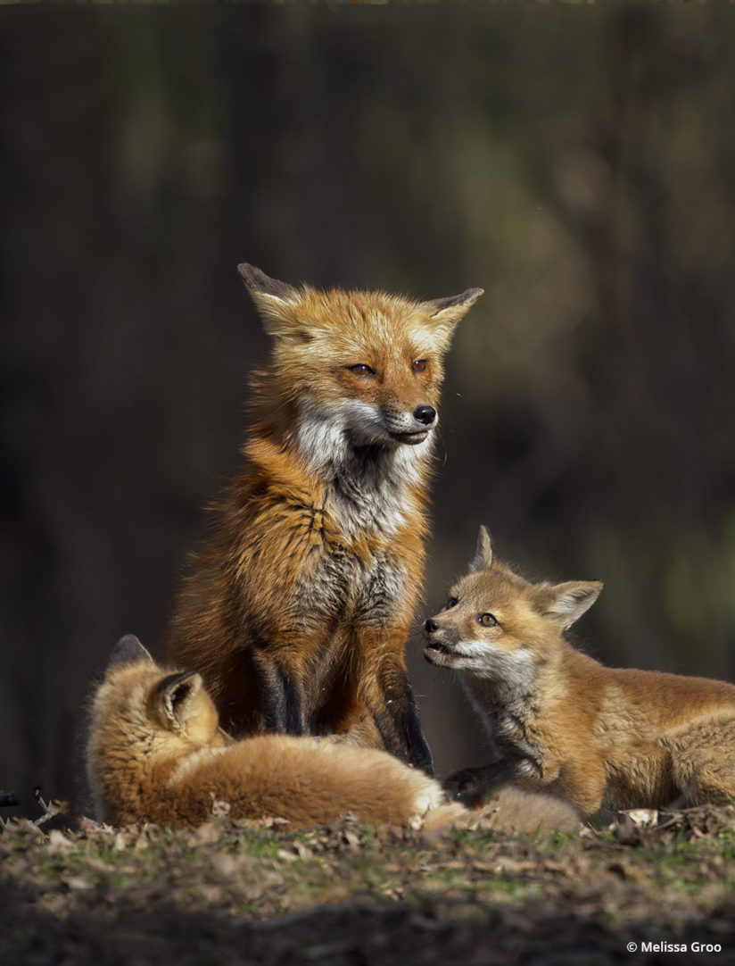 Lessons in wildlife photography - fox family