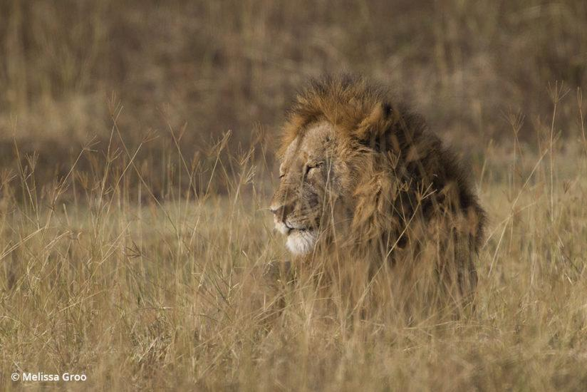 Lessons in wildlife photography - Serengeti lion