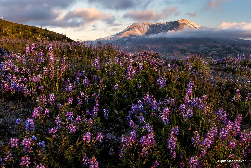 "Today's Photo Of The Day is ""Wildflowers, Mt. St. Helens, Washington"" by Jim Shoemaker. Location: Mt. St. Helens National Volcanic Monument, Washington."