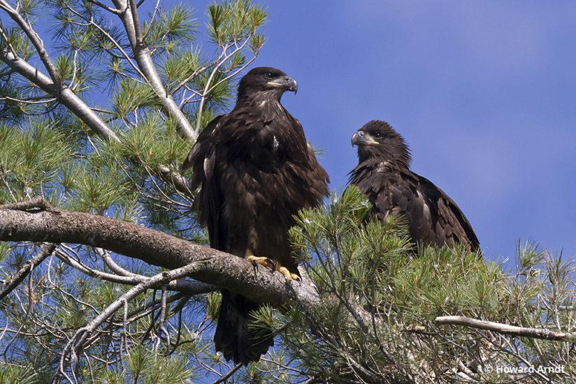 """Photographing bald eagles: chicks learn to """"branch"""" before flying"""