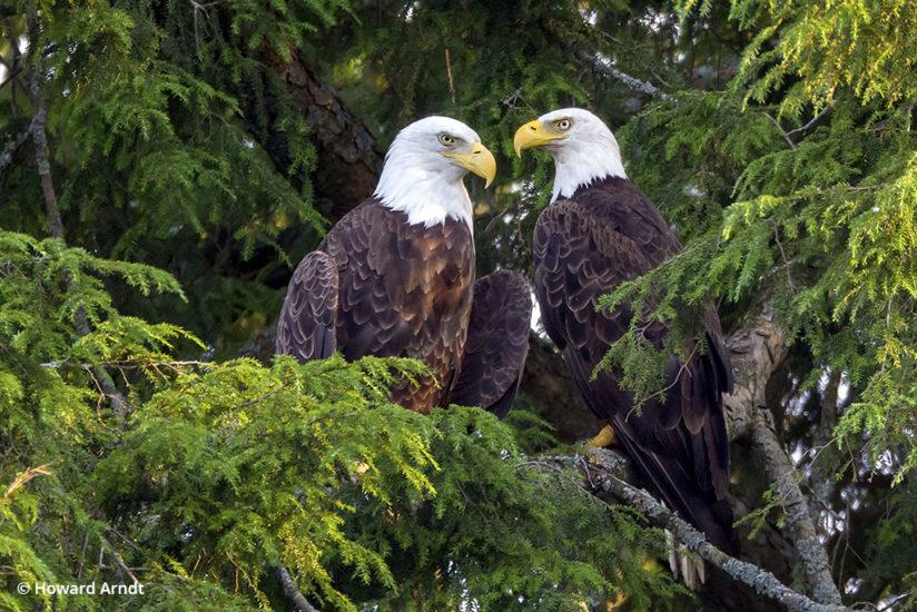 Photographing bald eagles: parents keep watch over the chicks