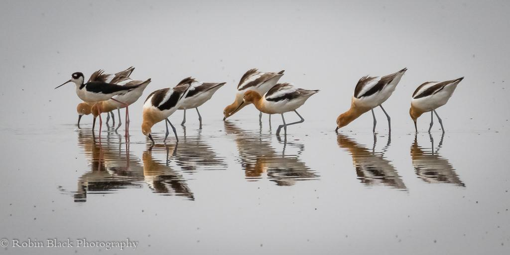 """Today's Photo Of The Day is """"Avocet Landscape"""" by Robin Black. Location: Owens Valley, California."""
