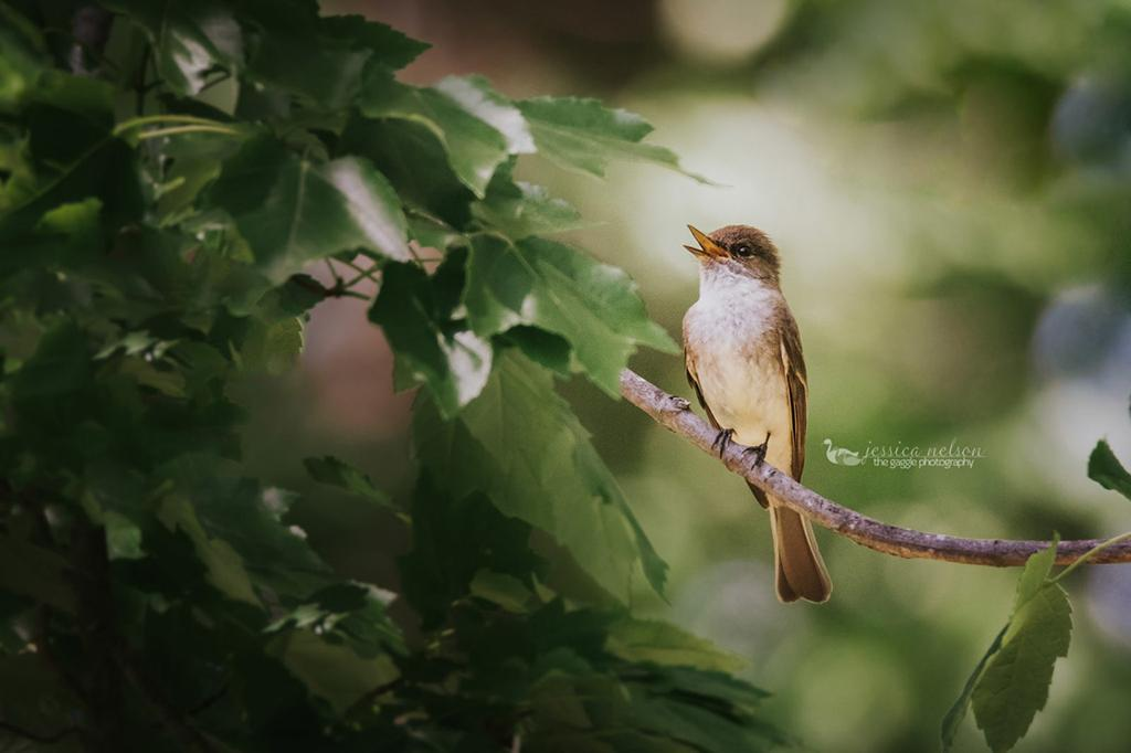 """Today's Photo Of The Day is """"Eastern Phoebe"""" by Jessica Nelson. Location: Dayton, Maryland."""