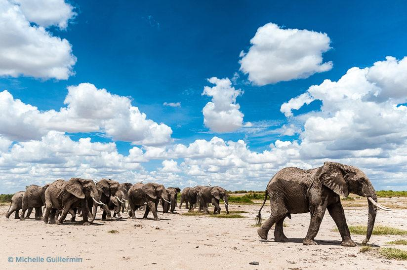 Elephants in search of shade and food, Kitenden Wildlife Corridor