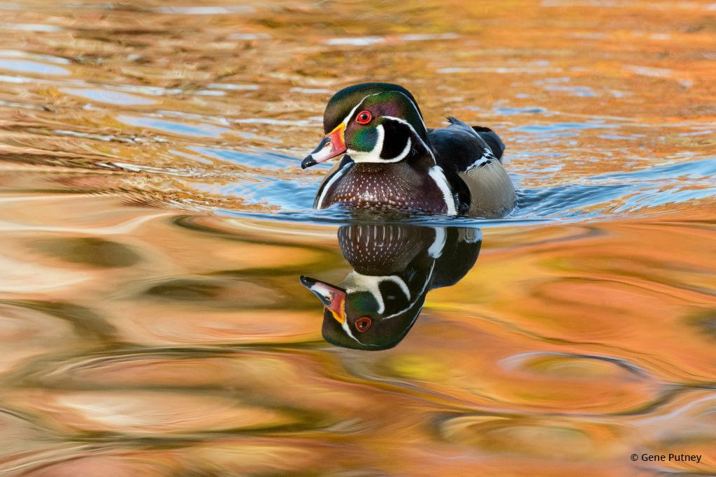 "Today's Photo Of The Day is ""Wood Duck Drake"" by Gene Putney. Location: Littleton, Colorado."