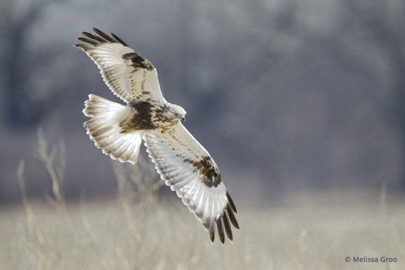 Backlighting a rough-legged hawk