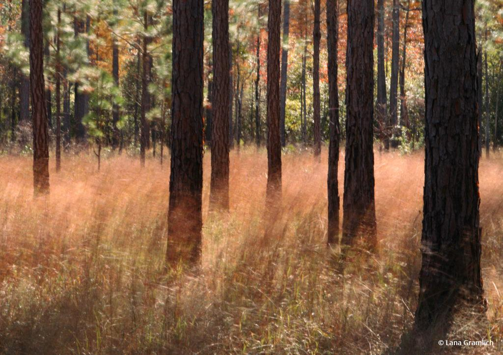 "Today's Photo Of The Day is ""Windy Pine Savanna"" by Lana Gramlich. Location: Abita Flatwoods Preserve, Louisiana."