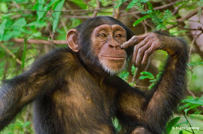 Into Africa: chimpanzee in Senegal