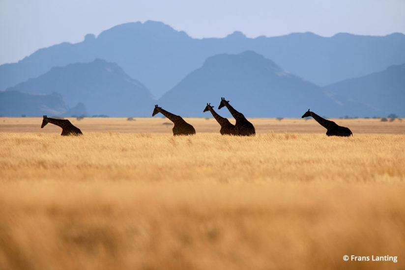 Into Africa: giraffes in Namibia