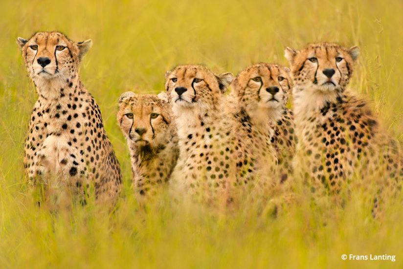 Into Africa: cheetah in Kenya