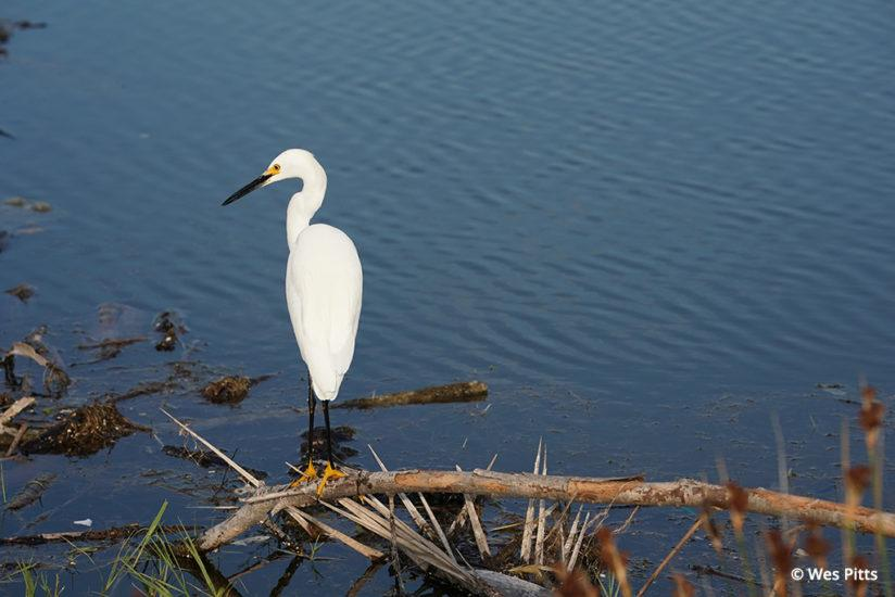 Great egret taken with the Sony a9