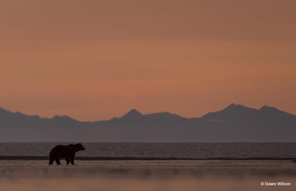 "Today's Photo Of The Day is ""Brown Bear on Beach at Sunrise"" by Dawn Wilson. Location: Lake Clark National Park, Alaska."