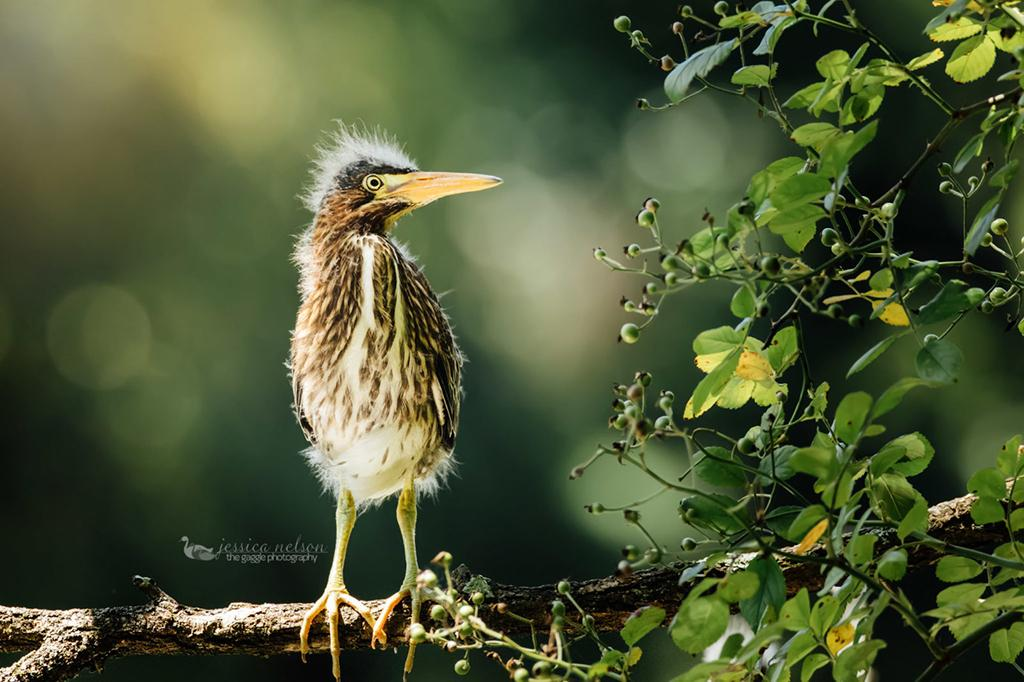 """Today's Photo Of The Day is """"Baby Green Heron"""" by Jessica Nelson. Location: Maryland."""