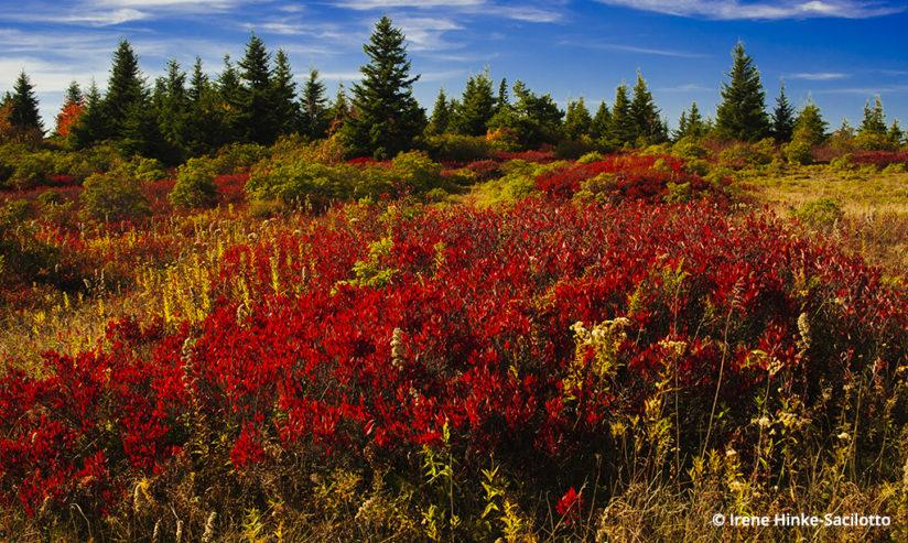 Fall Color In West Virginia: Dolly Sods