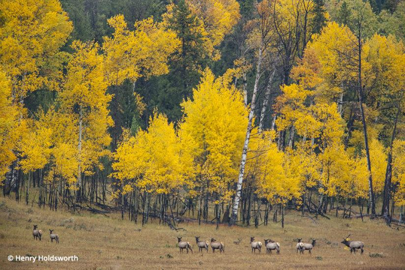 Grand Teton fall color, bull elk and aspen