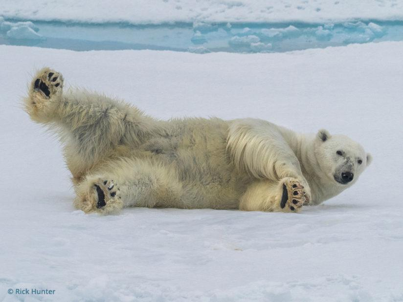 Polar bear, Olympus OM-D, photo by Rick Hunter
