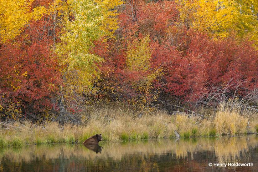 Grand Teton fall color, female black bear