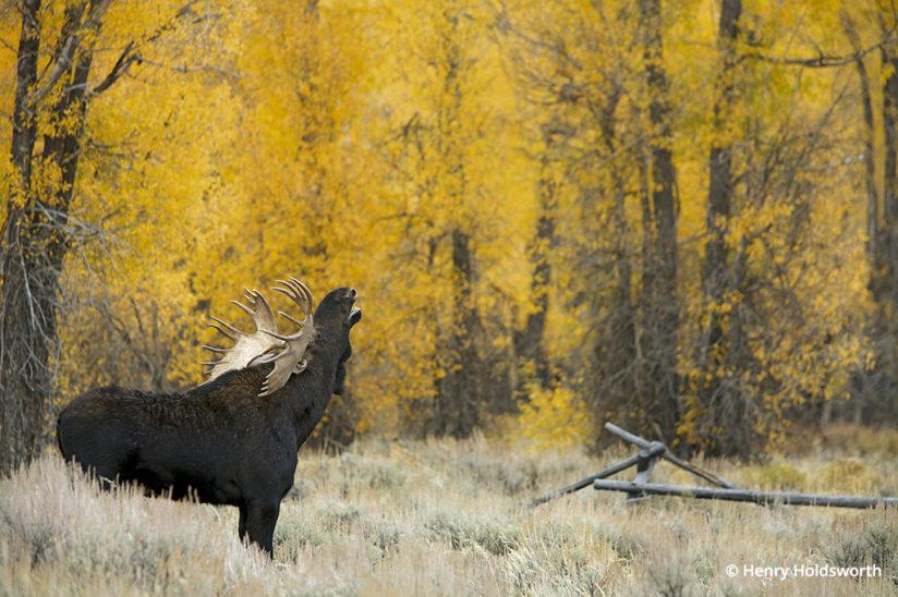 Grand Teton fall color, bull moose