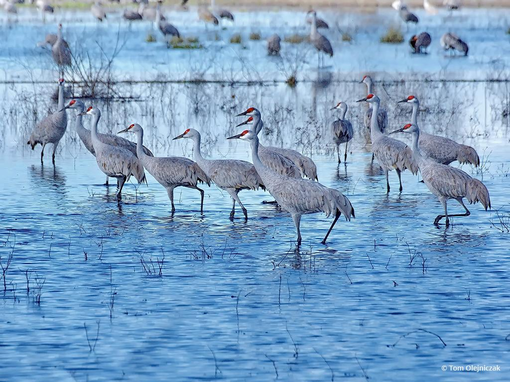 "Today's Photo Of The Day is ""Wading Sandhill Cranes"" by Tom Olejniczak. Location: Merced National Wildlife Refuge, California."