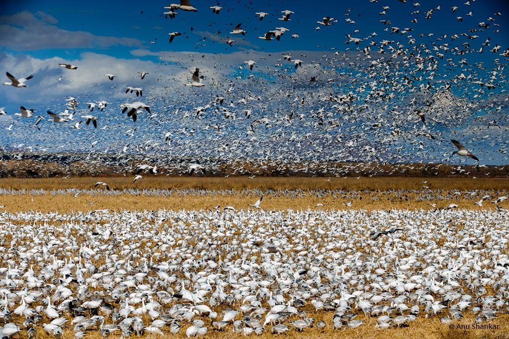 """Today's Photo Of The Day is """"Amass"""" by Anu Shankar. Location: Bosque Del Apache, New Mexico."""