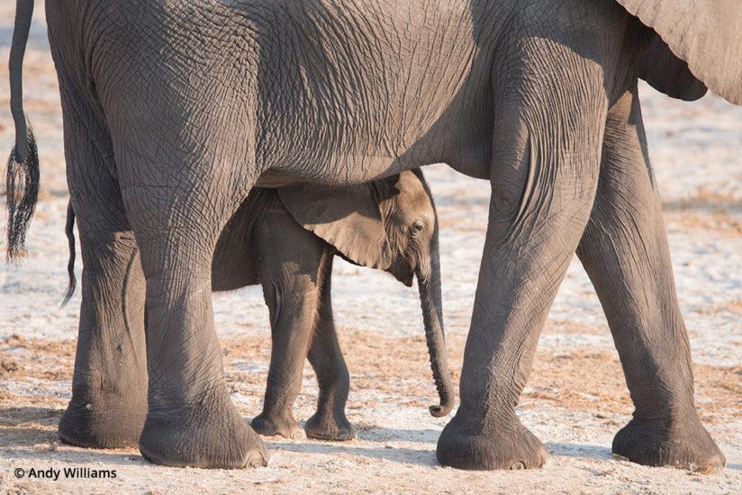 shooting for black and white, Mother elephant and calf
