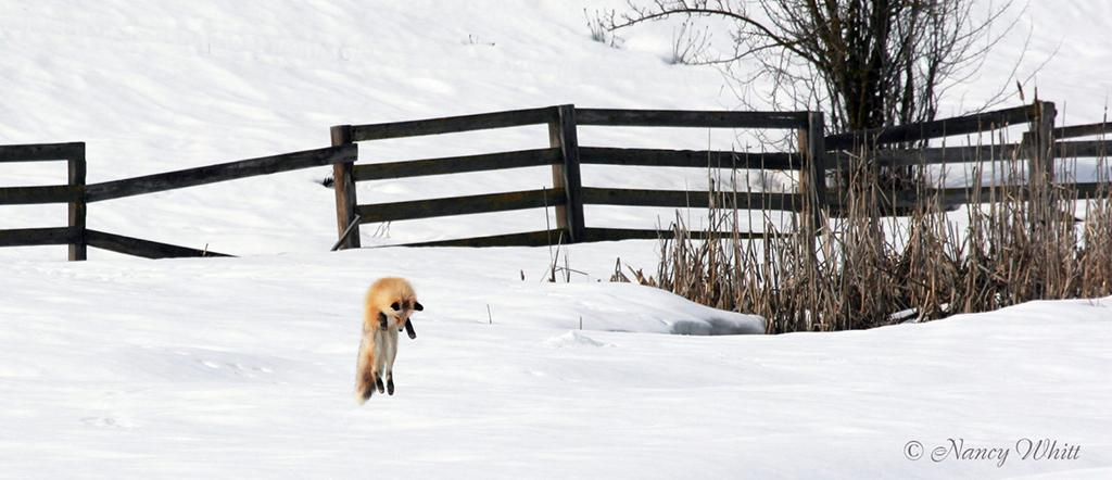 """Today's Photo Of The Day is """"Red Fox Hunting Voles"""" by Nancy Whitt. Location: Idaho."""