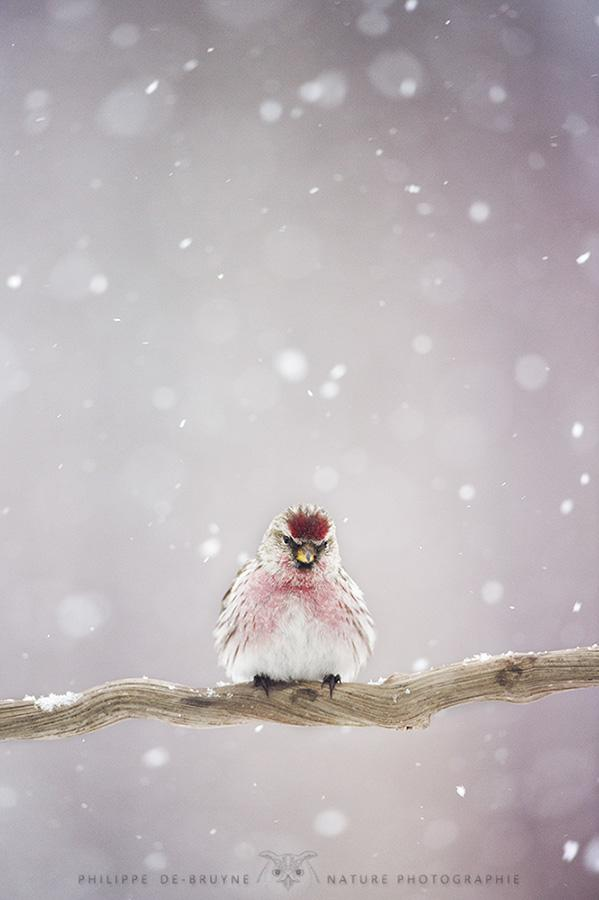 "Today's Photo Of The Day is ""Just A Little Bird Under The Snow"" by Philippe DE-BRUYNE."
