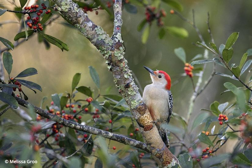 red-bellied woodpecker photographed from a photo blind