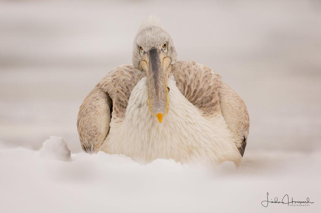 """Today's Photo Of The Day is """"Dalmatian Pelican"""" by Linda Hougaard. Lake Kerkini, Northern Greece."""
