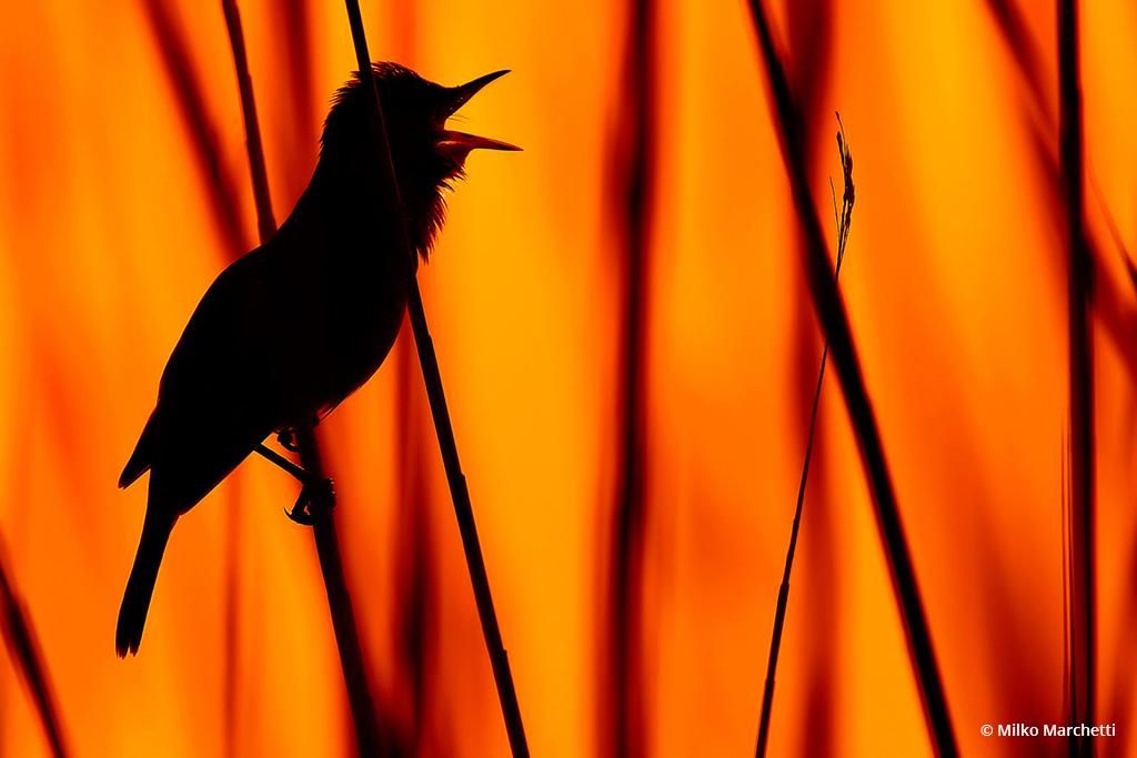 "Congratulations to Milko Marchetti for winning the recent Backlight And Silhouettes Assignment with the image, ""Great reed warbler."""