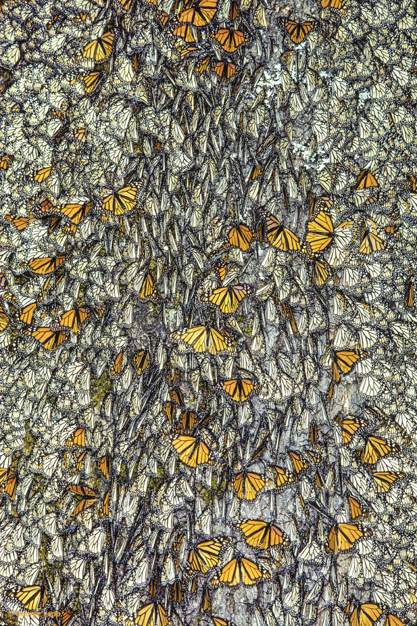 Overwintering Monarch Butterflies by George Lepp