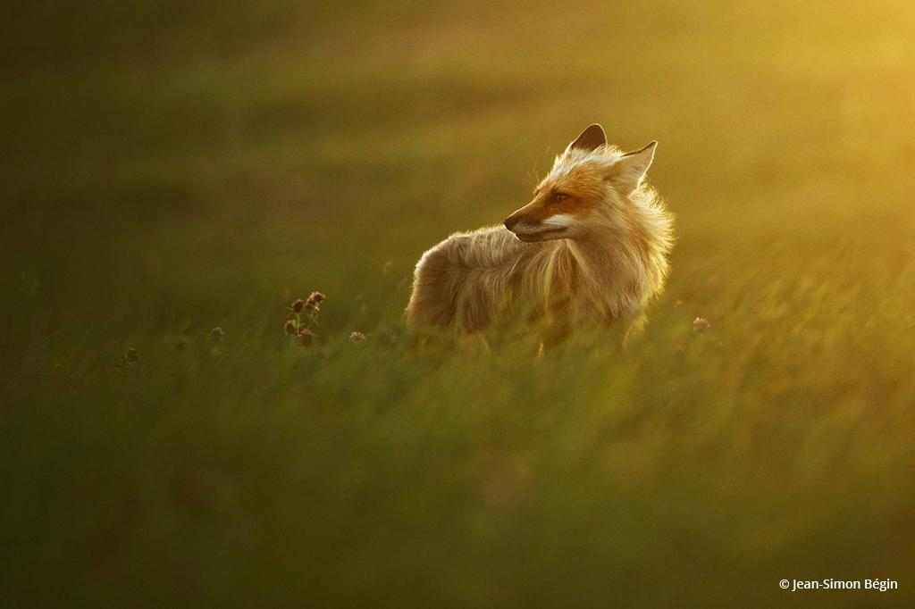 """Today's Photo Of The Day is """"Red fox"""" by Jean-Simon Bégin."""